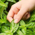 Cách trồng rau sạch trong thùng xốp tại nhà